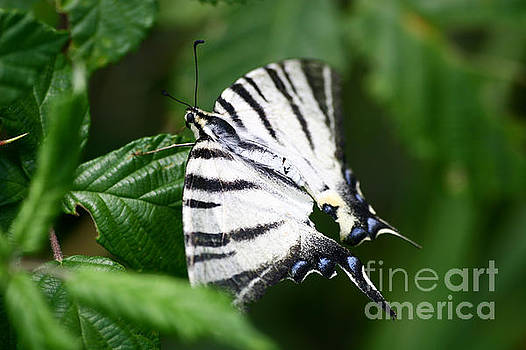 Dimitar Hristov - White butterfly on green
