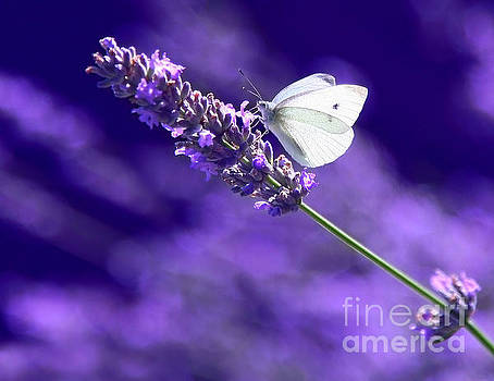 White Butterfly On Lavender by Susan Wall