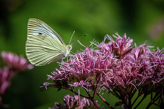 White Butterfly Pink Flower by Gary E Snyder