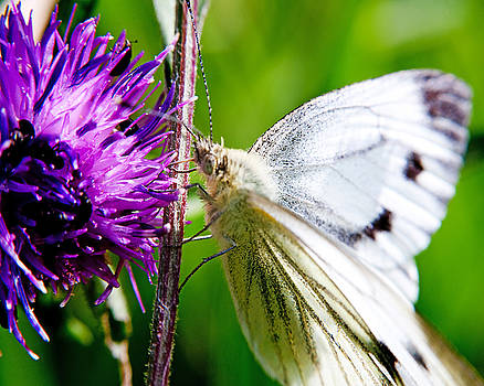 White Cabbage Butterfly Pieris rapae on Purple Thistle Flower by Chris Smith