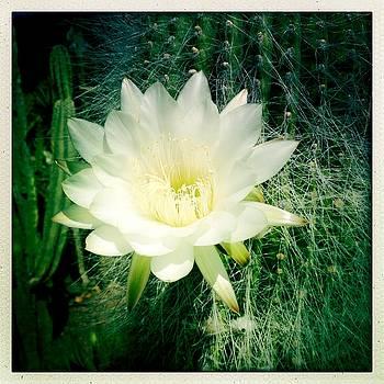 White Cactus Flower by Anne Thurston
