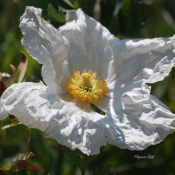 White Cactus Flower by Suzanne Gaff