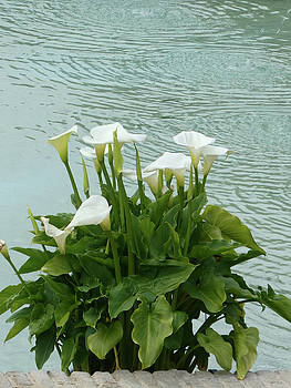 White Calla Lilies and Water by Marcia Socolik