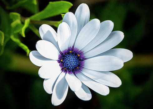 White Cape Daisy by Jean Haynes