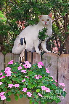 White Cat On The Fence by Marcel  J Goetz  Sr