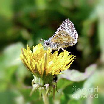 White-checkered Skipper Butterfly by Kerri Farley
