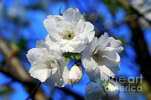 White Cheery Blossoms by John  Mitchell