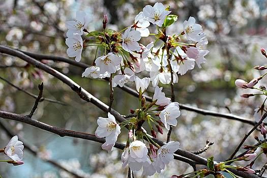 Andrew Davis - White Cherry Blossom Closeup with Buds #2