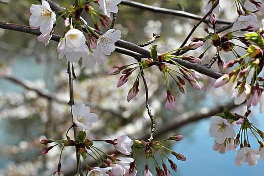 Andrew Davis - White Cherry Blossom Closeup with Buds