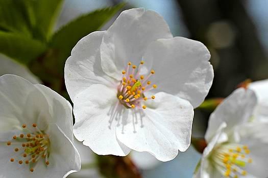 Andrew Davis - White Cherry Blossom Macro #2