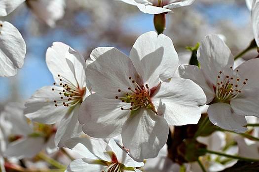 Andrew Davis - White Cherry Blossom Macro