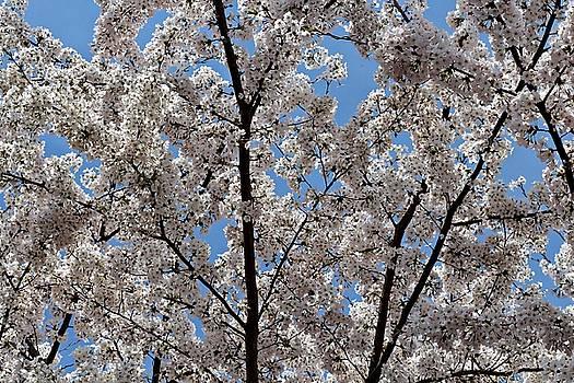 Andrew Davis - White Cherry Blossom Tree