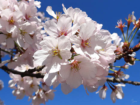 White Cherry Blossoms by Christopher Spicer