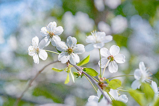 White Cherry Blossoms In Spring by Alexander Senin