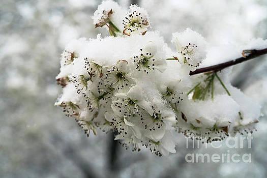 Ausra Huntington nee Paulauskaite - White Cherry Blossoms Under Snow