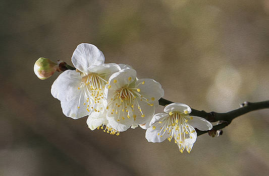 White Cherry flower by Jessica Nguyen