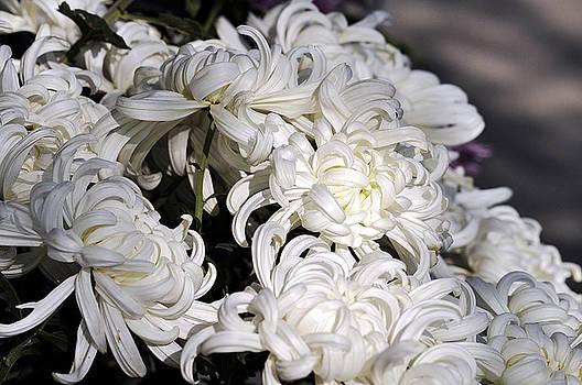 Clayton Bruster - White Chrysanthemum