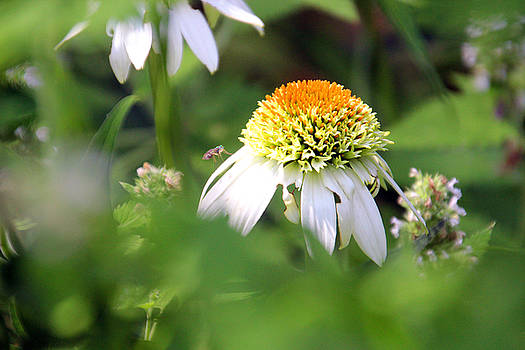Carolyn Stagger Cokley - white coneflower