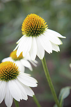 White coneflower by Garden Gate