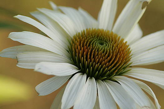 White Coneflower by Shelley Grabow