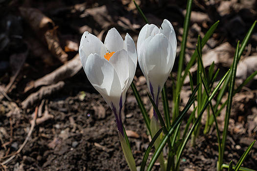 White Crocus In Bloom by Jeff Severson