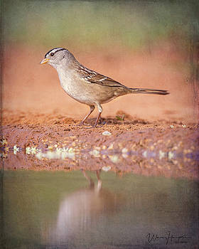 White-crowned Sparrow - 6128,ST by Wally Hampton