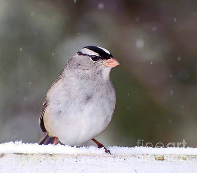 White-crowned Sparrow in Falling Snow by Kerri Farley
