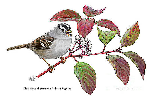 White-crowned sparrow on Red osier dogwood by Emily Damstra