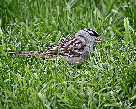 White-crowned Sparrow by Phill Doherty