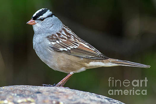 White-Crowned Sparrow by Robert McAlpine
