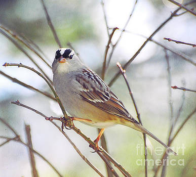White-crowned Sparrow Watching Me by Kerri Farley
