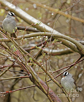 White Crowned Sparrows by Natural Focal Point Photography