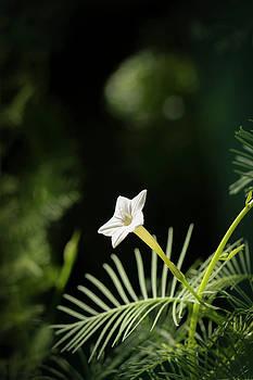 White Cypress Vine by Liza Eckardt