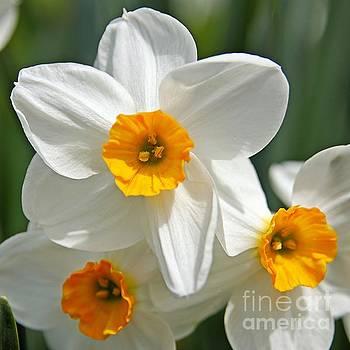 White Daffodil by DJ Florek