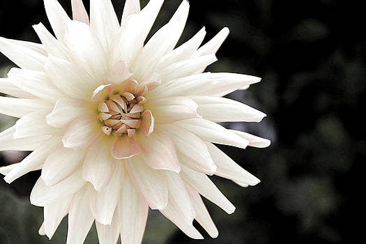 White Dahlia by Beth Fox
