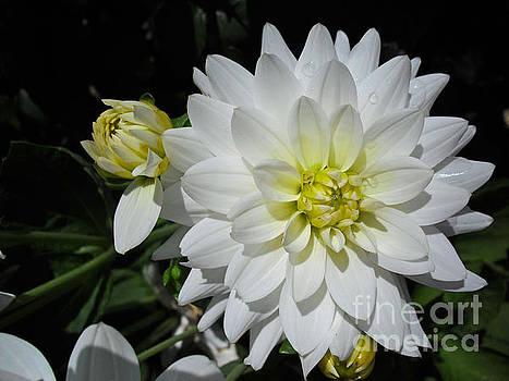 White dahlias by Beatrice Cloake