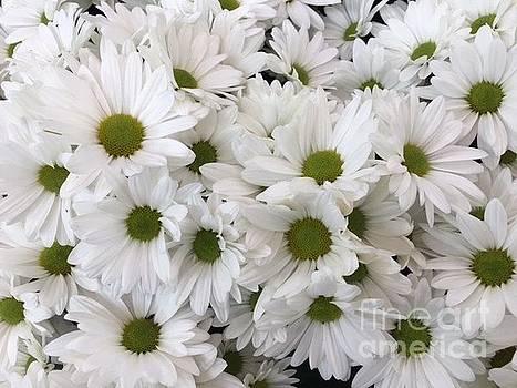 White Daisies by Jeannie Rhode