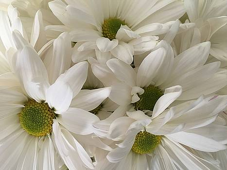 White Daisies by Marita McVeigh