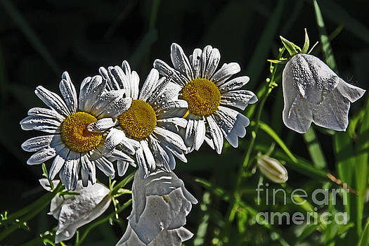 White Daisies with Bell Flower by David Frederick