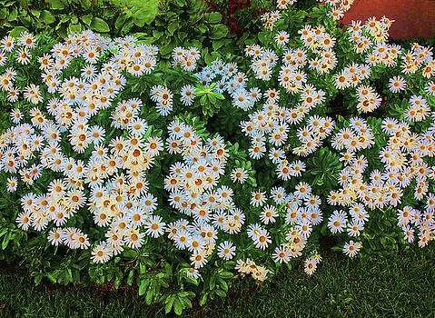 White Daisy Bush by Roger Bester