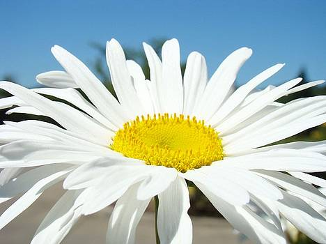 Baslee Troutman - White Daisy Flower art prints Summer Blue Sky Baslee