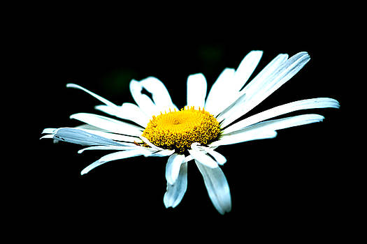 White Daisy Flower Black Background by Alexander Senin
