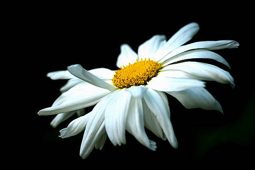 White Daisy Flower In The Wind by Alexander Senin