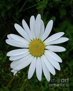 White Daisy by Julia Underwood