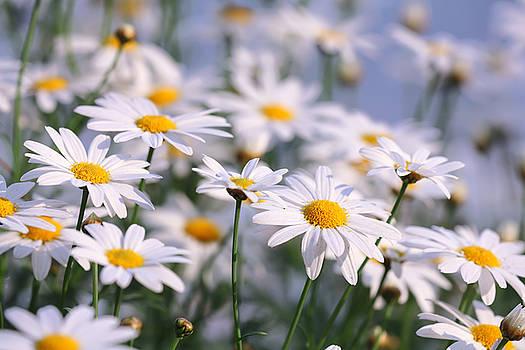 White Daisy by Keattikorn Samarnggoon
