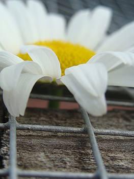 White Daisy by Sarah Donovan