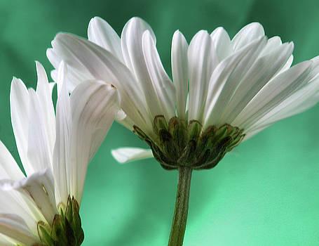 White Daisy by Terri Tiffany