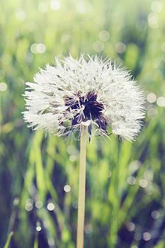 white dandelion by Iuliia Malivanchuk by Iuliia Malivanchuk