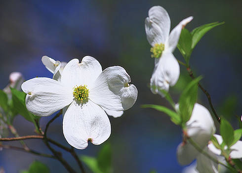 Jill Lang - White Dogwood Bloom