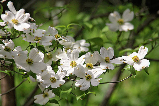White Dogwood Blossoms by Trina Ansel